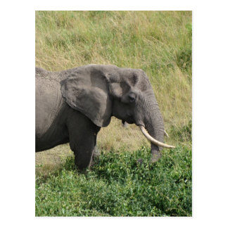 Elephant-Uganda-Africa-2 Postcard
