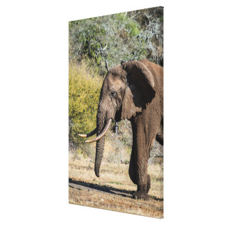 Elephant with Long Tusks Canvas Print