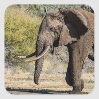 Elephant with Long Tusks Square Sticker