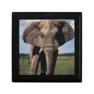Elephant young male gift box