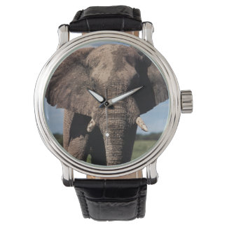 Elephant young male watch