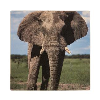 Elephant young male wood coaster
