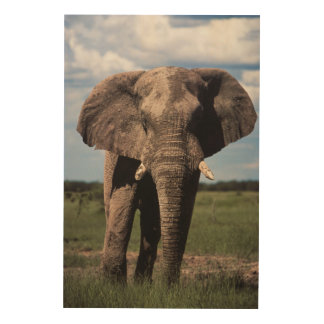 Elephant young male wood print