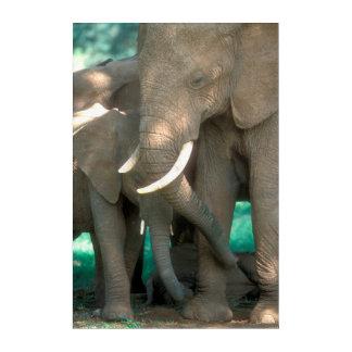 Elephants Protecting Young Acrylic Print