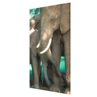 Elephants Protecting Young Canvas Print