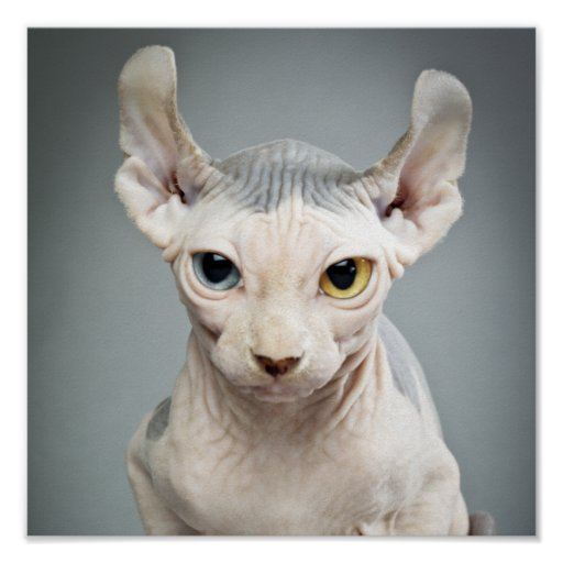 Elf Sphinx Cat Photograph Print