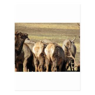 Elk Booty Postcard