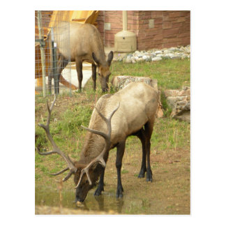 Elk bull and cow snacking at the Y Postcard