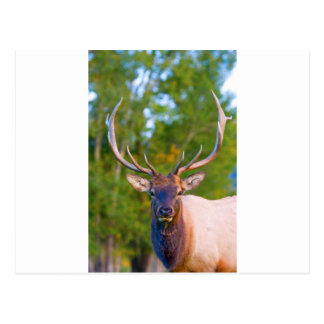 Elk Bulls Eyes Postcard