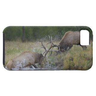 Elk Bulls fighting, Yellowstone NP, Wyoming iPhone 5 Case