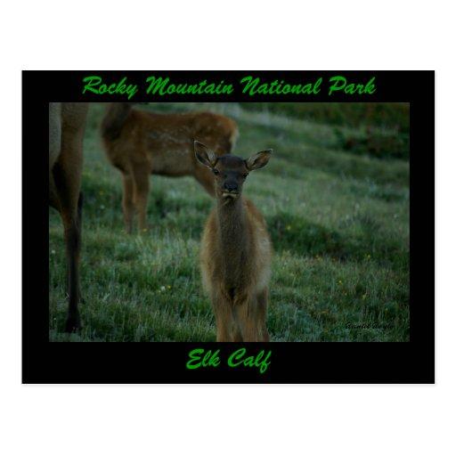 Elk Calf, Trail Ridge Road Postcard