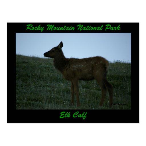 Elk Calf, Trail Ridge Road Post Card