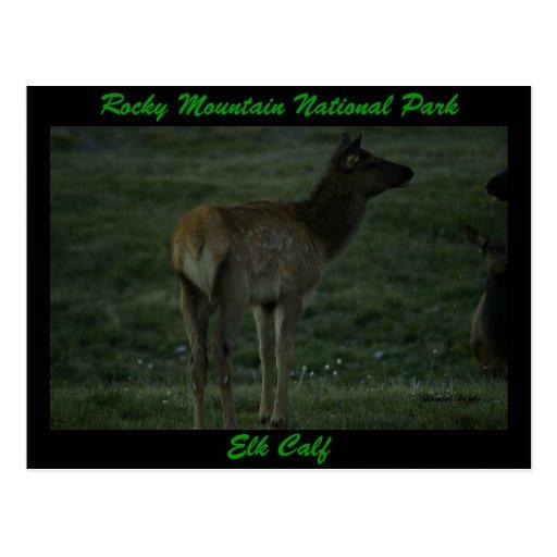 Elk Calf, Trail Ridge Road Post Cards