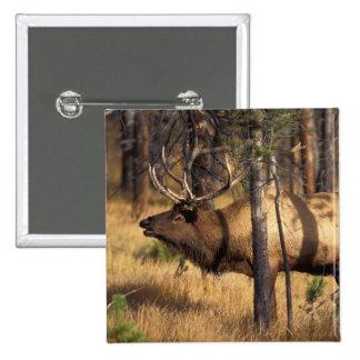 elk, Cervus elaphus, bull bugles in a burnt out 15 Cm Square Badge