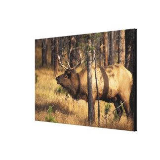 elk, Cervus elaphus, bull bugles in a burnt out Stretched Canvas Prints