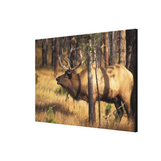 elk, Cervus elaphus, bull bugles in a burnt out Canvas Print