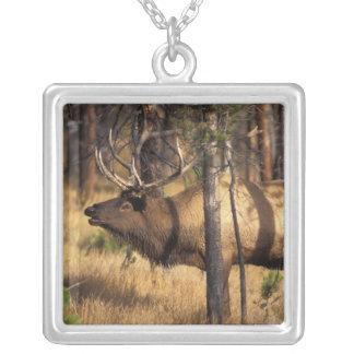 elk, Cervus elaphus, bull bugles in a burnt out Square Pendant Necklace