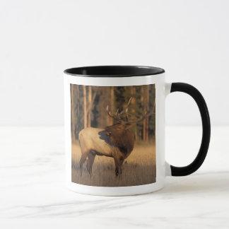 elk, Cervus elaphus, bull calling in Mug