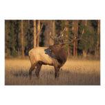 elk, Cervus elaphus, bull calling in Photographic Print
