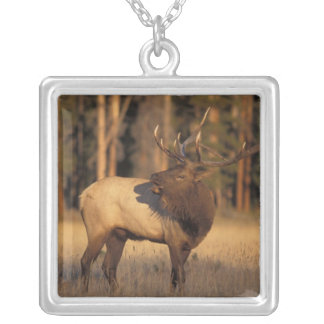 elk, Cervus elaphus, bull calling in Silver Plated Necklace