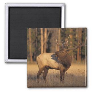 elk, Cervus elaphus, bull calling in Square Magnet