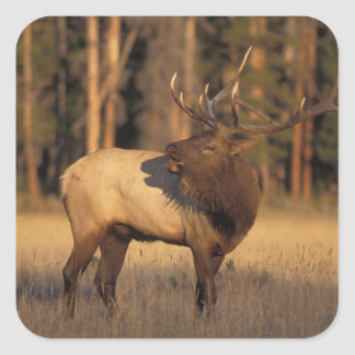 elk, Cervus elaphus, bull calling in Square Sticker