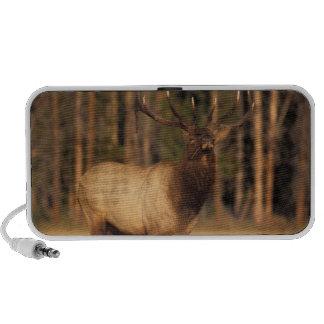 elk, Cervus elaphus, bull eating grasses in a Travelling Speaker
