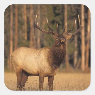 elk, Cervus elaphus, bull eating grasses in a Square Sticker