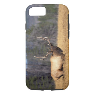 elk, Cervus elaphus, bull in a field in iPhone 8/7 Case