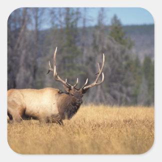 elk, Cervus elaphus, bull in a field in Square Sticker