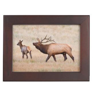 Elk (Cervus Elephus) Bull Herding Harem 2 Keepsake Box