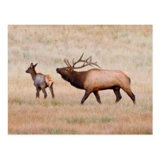 Elk (Cervus Elephus) Bull Herding Harem 2 Postcard