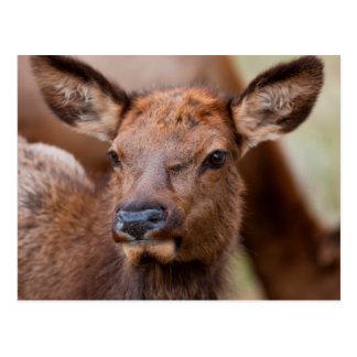 Elk (Cervus Elephus) Calf With Winter Hair Postcard