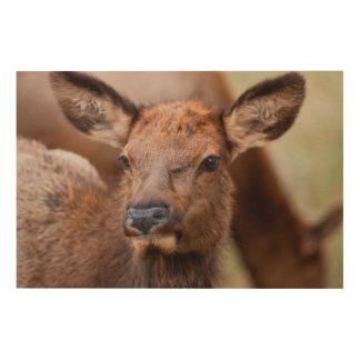 Elk (Cervus Elephus) Calf With Winter Hair Wood Wall Art