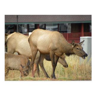 Elk crossing alert postcard
