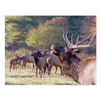 Elk Herd Postcard