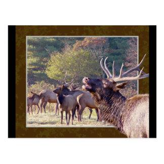 Elk Herd Postcard 2