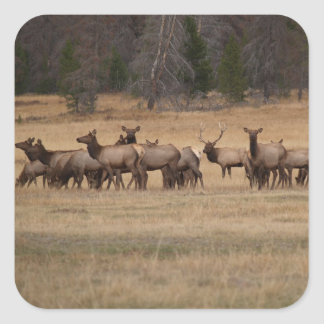 Elk Herd  Square Sticker
