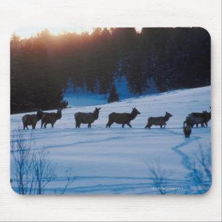 Elk herd walking through field mouse pad