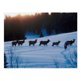 Elk herd walking through field postcard