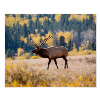 Elk in Rocky Mountain National Park, Colorado Poster