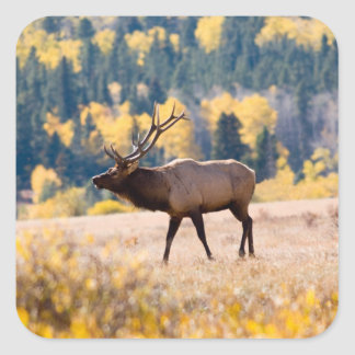 Elk in Rocky Mountain National Park, Colorado Square Sticker