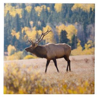 Elk in Rocky Mountain National Park, Colorado Tile