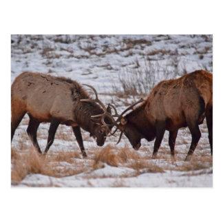 Elk in Rocky Mountain National Park Postcard