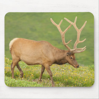 Elk in velvet walking, Colorado Mouse Mat
