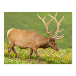 Elk in velvet walking, Colorado Postcard