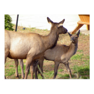 Elk mommy and baby postcard
