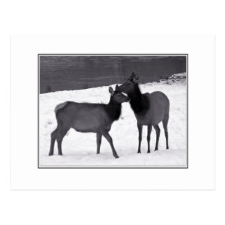 Elk Mother And Calf Postcard