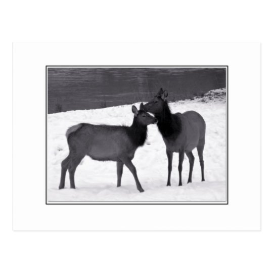 Elk Mother And Calf Postcard