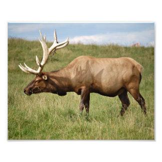 Elk Photo Print